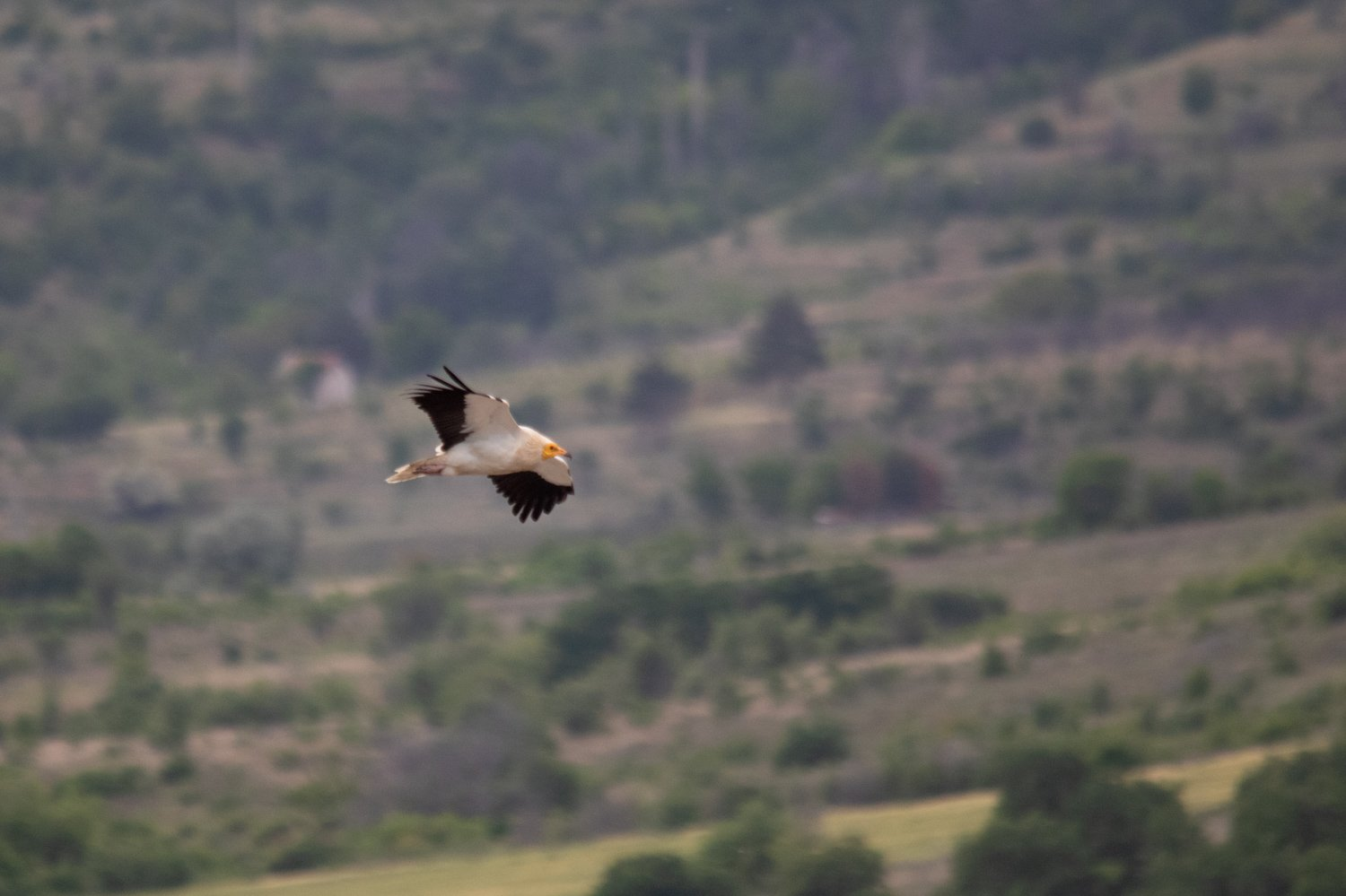Egyptian Vulture in flight, photographed in the Republic of North Macedonia