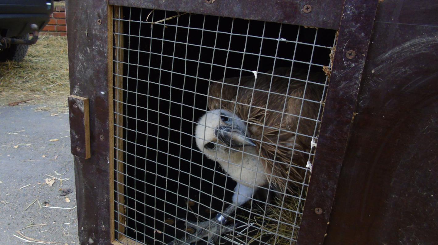 Griffon Vulture release north macedonia