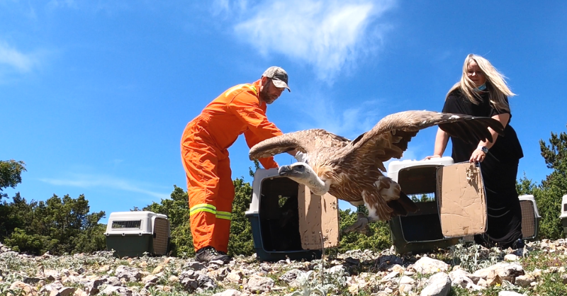 Releasing the vultures © Tomislav Bandera Anić/ Beli Visitor Centre and Rescue Centre for Griffon Vultures